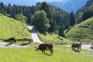 cows_s oradini (3)