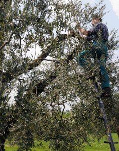 """Olio extravergine d'oliva Garda DOP, il prezioso """"oro liquido"""""""