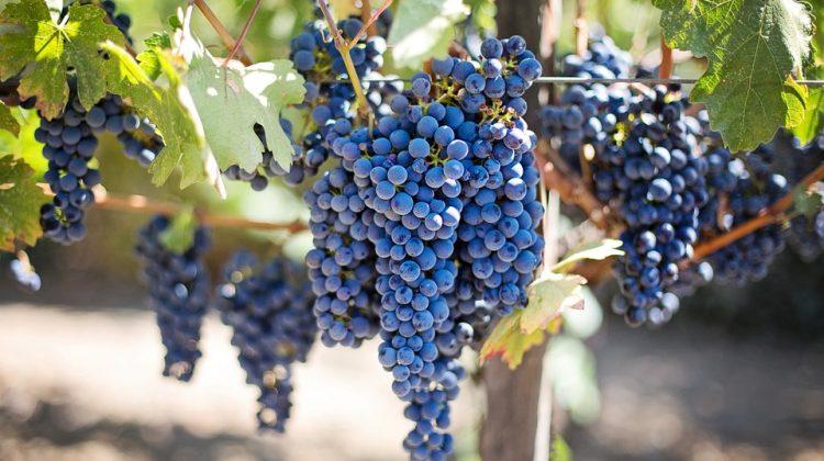 Valpolicella: ecco Elmo, il nuovo vitigno autoctono dalla storia antica
