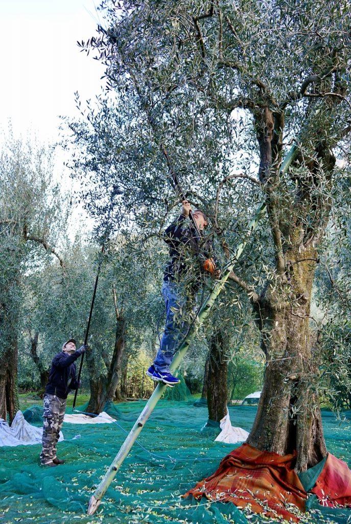 La raccolta delle olive sul Lago di Garda e l'olio del Garda DOP.