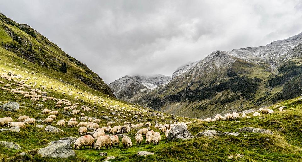 Montagna veronese: la Pecora Brogna della Lessinia è presidio Slow Food